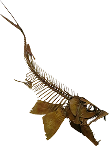 Enchodus skeleton