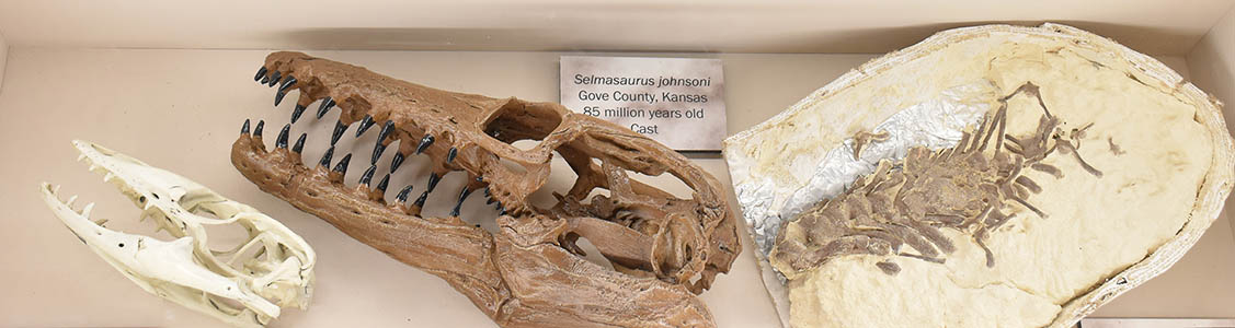 Selmasaurus and monitor lizard skulls