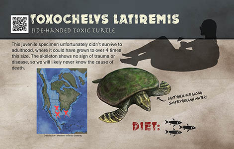 Toxochelys sign
